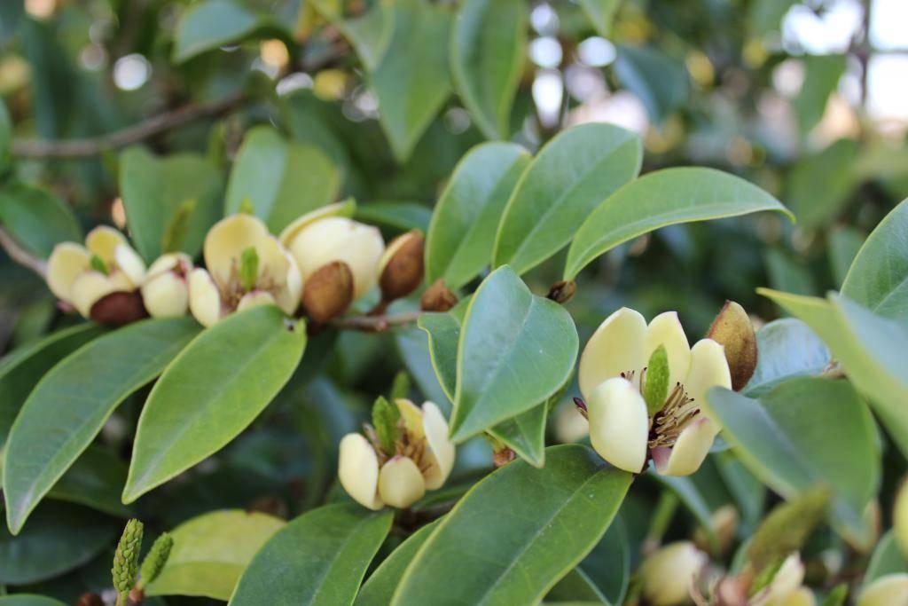 Rare 4 graines d 39 arbuste banane michelia figo h318 banana - Semilla de magnolia ...