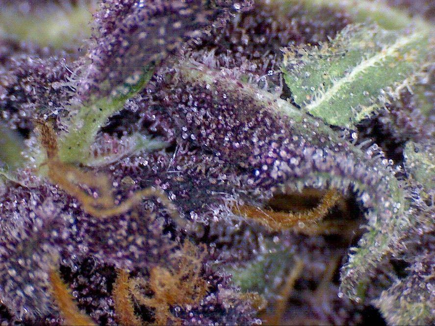 Purple Sour Diesel? - ...