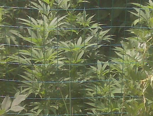 Neem oil cannabis