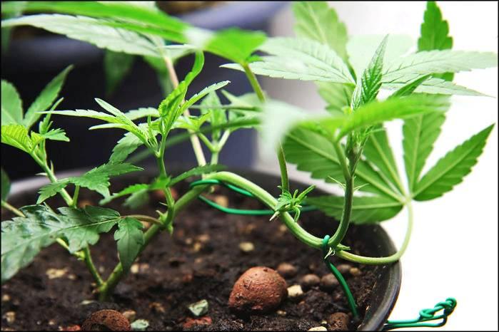 Guide To Topping Training Amp Pruning Marijuana Plants