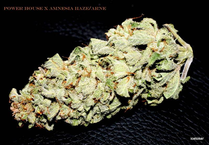 Hybrids From Hell Indoor Strains Report Cans Hash Smoke Reports International Cannagraphic Magazine Forums