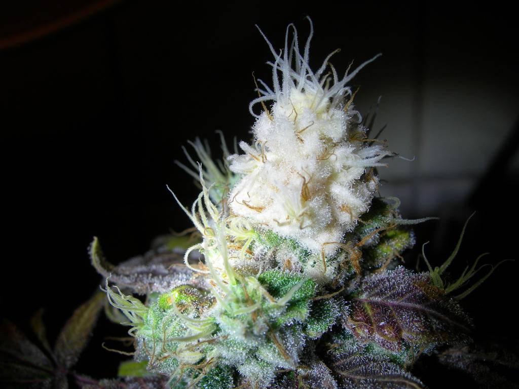 Weed Plants Budding Too Early Blackstar 500w ...
