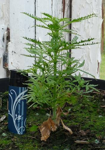 how to make small weed plants bush up faster