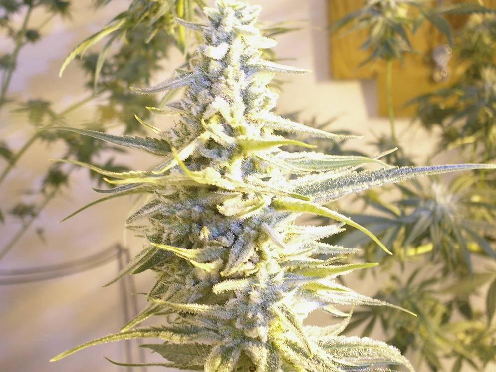 Марихуаны айс сорт сажать при какой марихуану температуре