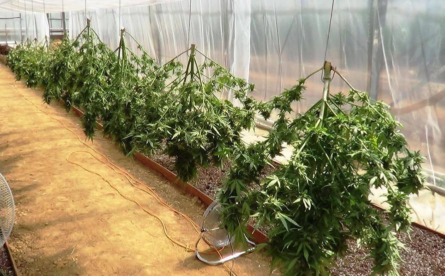 Testing dutch passion super autoflowers auto flowering for Cannabis exterieur