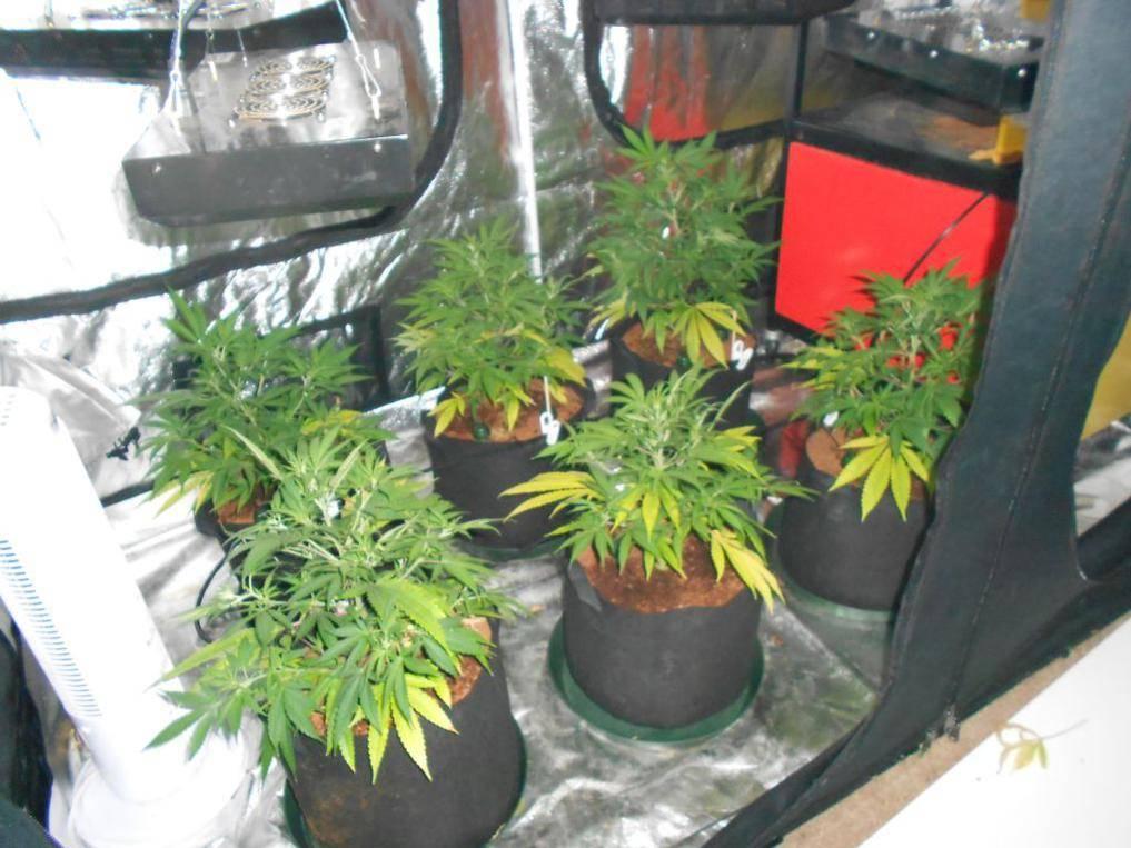 LED+Blumats(Canna) Vs  LED+T5+Autopots(AN) - LED Grow Lights