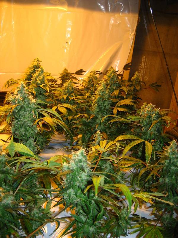 Highest yielding sog strain  - Marijuana Strains and
