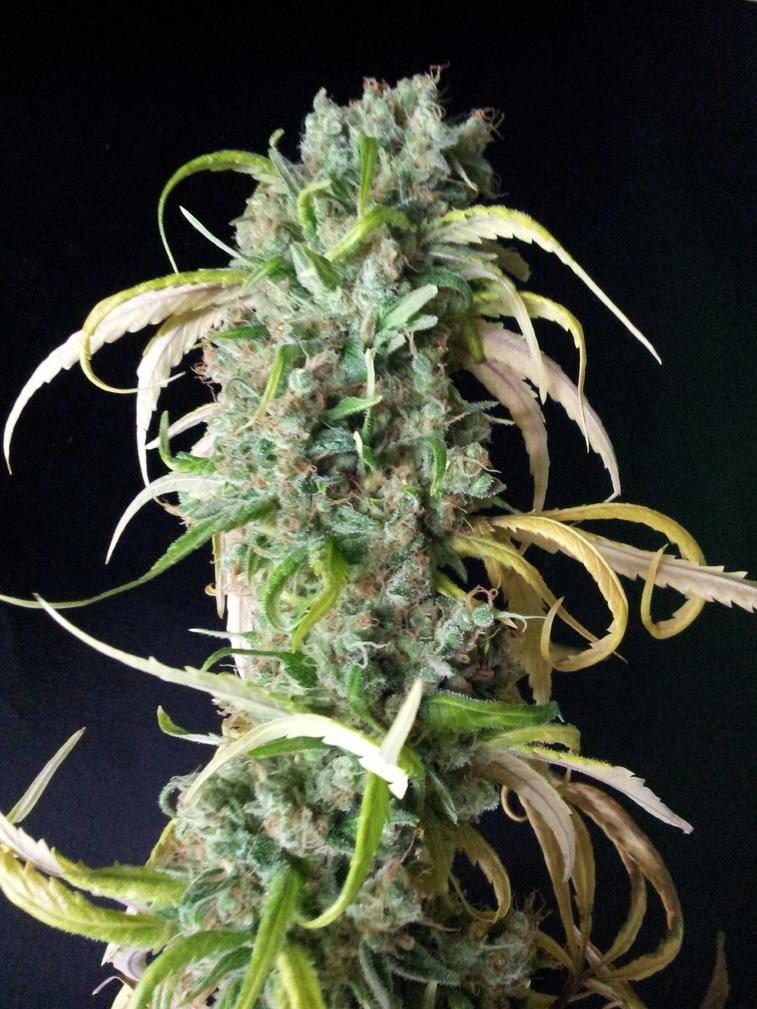 growing elite marijuana pdf free