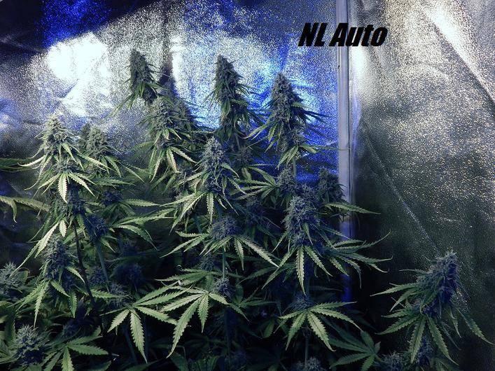 IC Strain Guide - makedon's Northern Lights AUTO Cannabis Grow