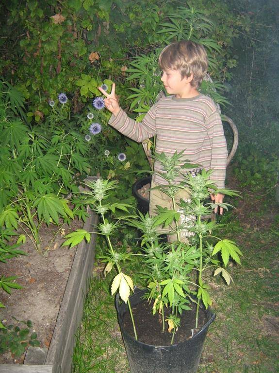 biggest outdoor autoflower grow auto biggysmalls page 22 auto flowering international. Black Bedroom Furniture Sets. Home Design Ideas