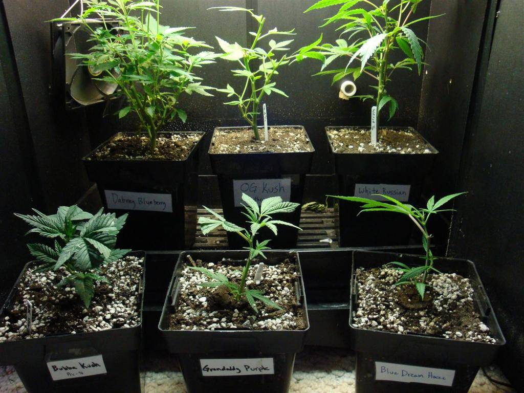 grow cropped cannabis parts anatomy the plant closet